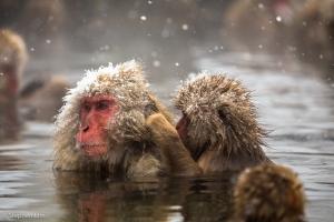 Macaque-2013-16