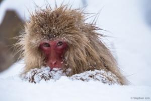 Macaque-2013-18