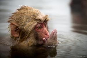 Macaque-2013-6